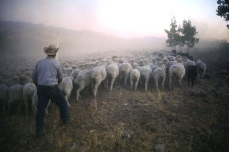 Nevada sheep.